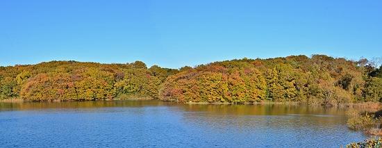 11月下旬の冷え込みに、狭山湖畔の雑木林はクヌギ・コナラ・ミズキ、エゴノキ等の黄葉の中に、モミジやツタの紅葉が色を添え、小学唱歌\u201c紅葉\u201dそのものの景色です